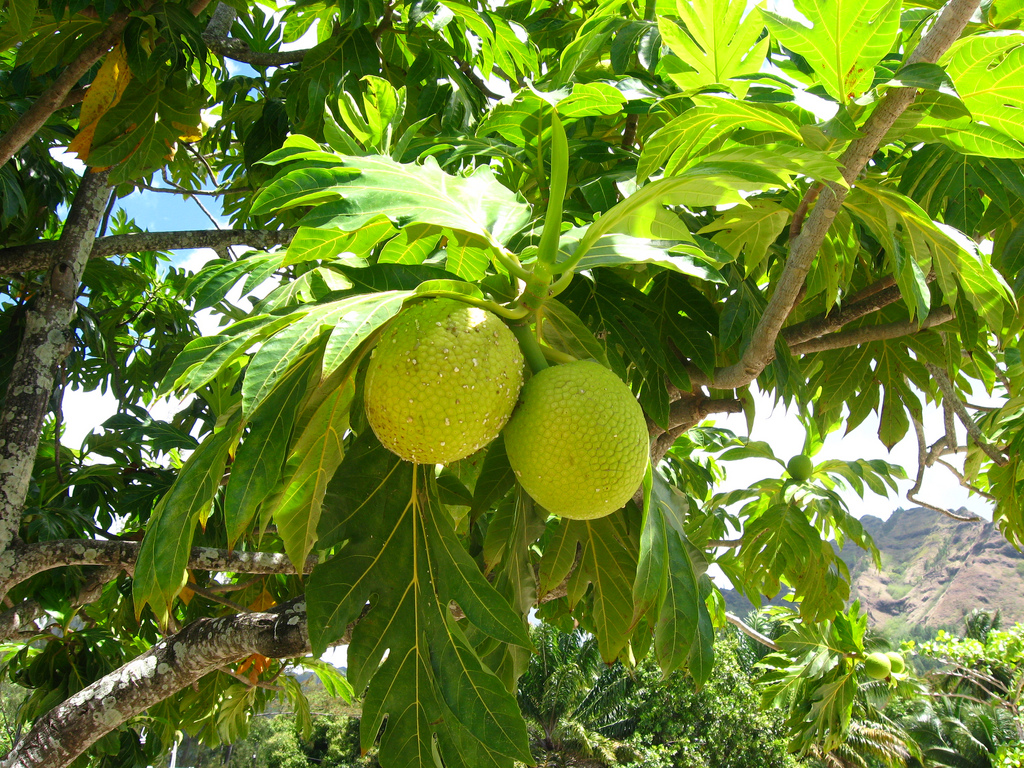Breadfruit by ap2il Flickr