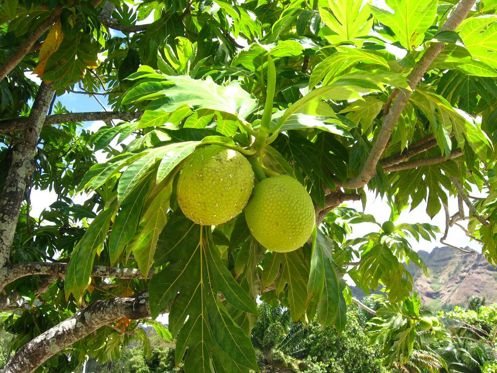 Breadfruit by ap2il Flickr